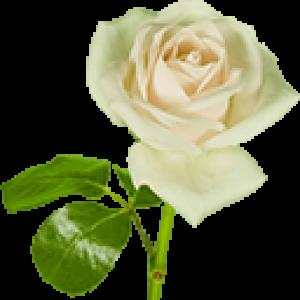 Белые Розы (0)