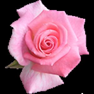 Розовые Розы (0)