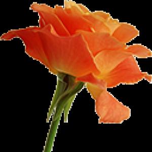 Оранжевые Розы (0)