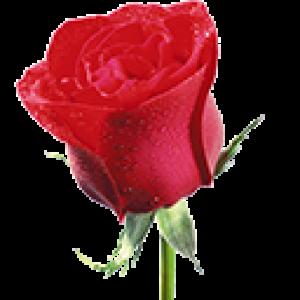 Алые Розы (0)
