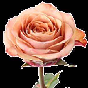 Кремовые розы (0)